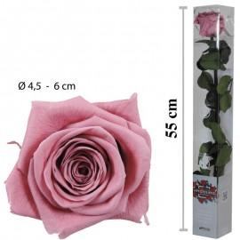 Rosa Amorosa Cherry Blossom...