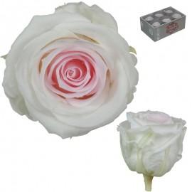 Extra Rosa Ø 6 cm Bicolor...