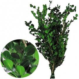 Buxus Pres Verde VERDIS
