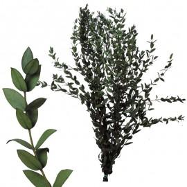 Eucaliptus Parvifolia Verde...