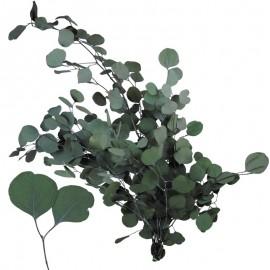 Eucaliptus Populus Verde...