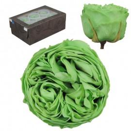 Rosa Inglesa L Verde 6 Ud