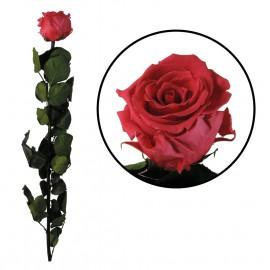 Rosa Amorosa Rosa Oscuro ↕...