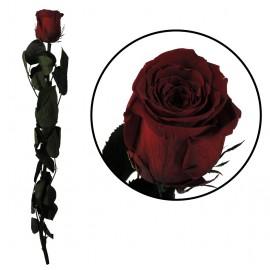 Rosa Amorosa Burgundy...