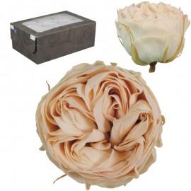 Rosa Inglesa L Bicolor...