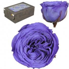 Rosa Inglesa L Violeta 6 Ud
