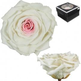 Rosa XXL Bicolor Blanco (1 ud)
