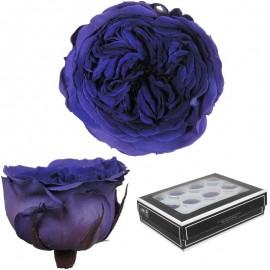 Rosa Inglesa Mini 12 uds Azul