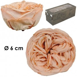 Rosa Inglesa XL Melocoton...