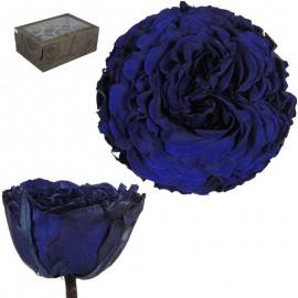 Rosa Carmen XL Azul (6 ud)