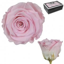 Rosa XL Bicolor Rosa (6 Ud)