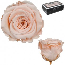 Rosa XL Melocoton Suave (6 Ud)
