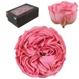 Rosa Inglesa L Rosa Bicolor...
