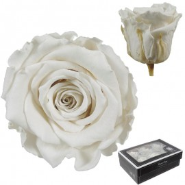 Rosa Large Blanco Roto x6