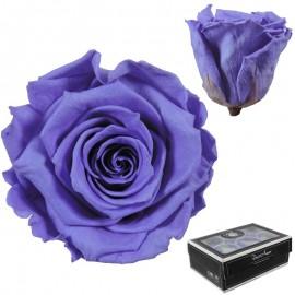 Rosa Large Violeta x6