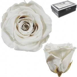 Rosa XL Blanco Roto (6 Ud)