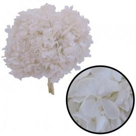 Hortensia Blanco Perla Ø 20 cm