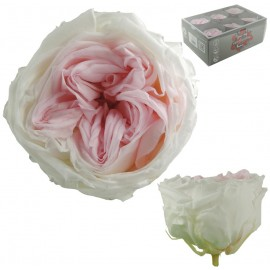 Rosa Inglesa Blanco/Rosa...