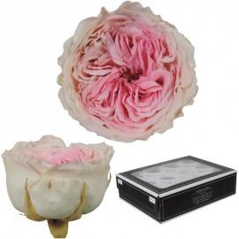 Rosa Inglesa Mini 12 uds...