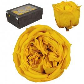 Rosa Inglesa L Amarillo 6 Ud