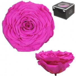 Rosa XXL Buganvilla (1 ud)