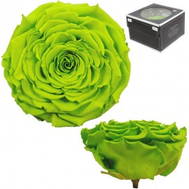 Rosa XXL Verde Lima (1 ud)