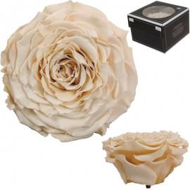 Rosa XXL Champagne (1 ud)
