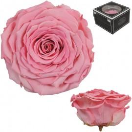 Rosa XXL Bicolor Rosas (1 ud)