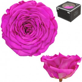 Rosa XXL Bicolor Fucsia (1 ud)