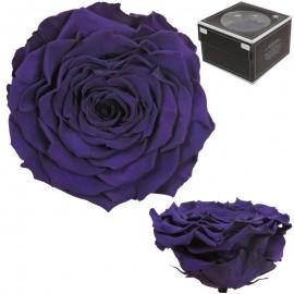 Rosa XXL Purpura (1 ud)