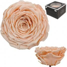 Rosa XXL Melocoton (1 ud)