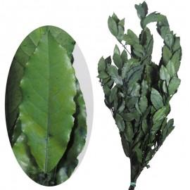 Laurel Pres 60-70 cm