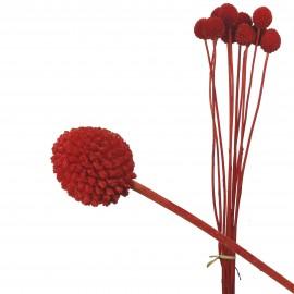 Craspedia Pres. (10 uds) Rojo